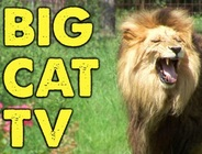 Big Cat TV